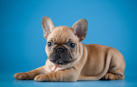 French Bulldog For Sale And Their Features