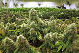Know About Dispensary Weed Cannabis
