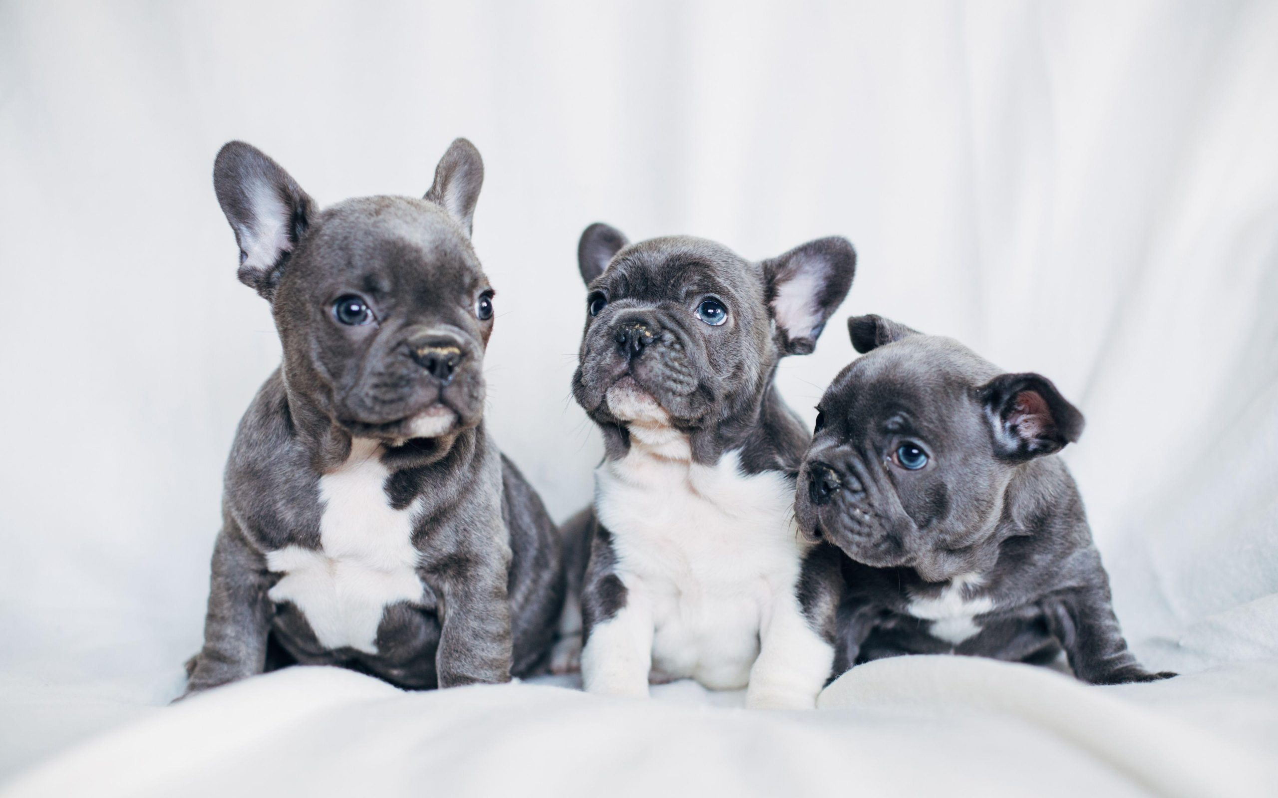 French Bulldog For Sale To Bring In A New Family Member